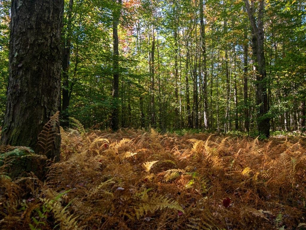 Dry ferns