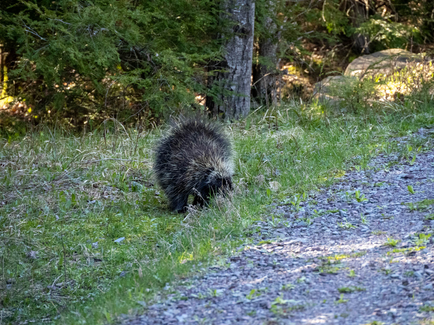 The porcupine, as I first saw 'em, looking for food.