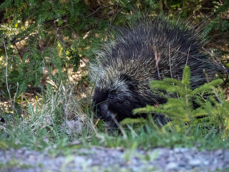 Bye-bye, Porcupine.