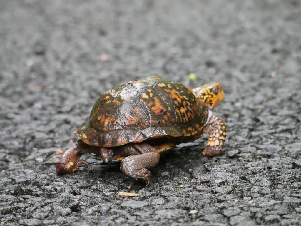 Bye bye, box turtle!