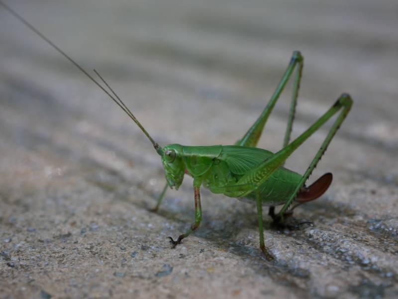 Macro grasshopper!