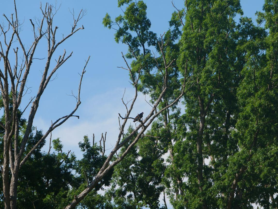 High in the treetops, my turkey vulture friend looks down.
