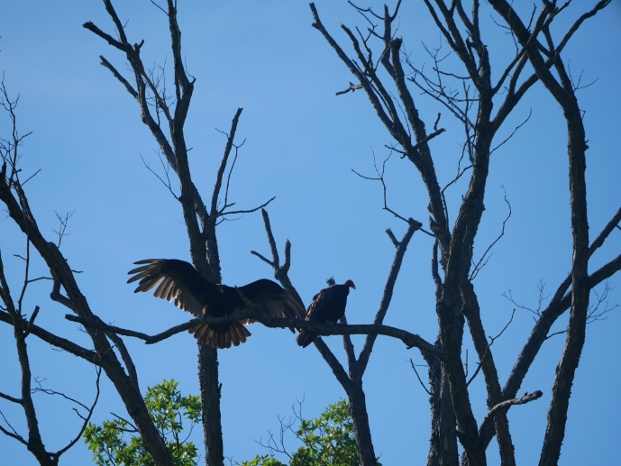 A turkey vulture lands in the treetops, next to another.