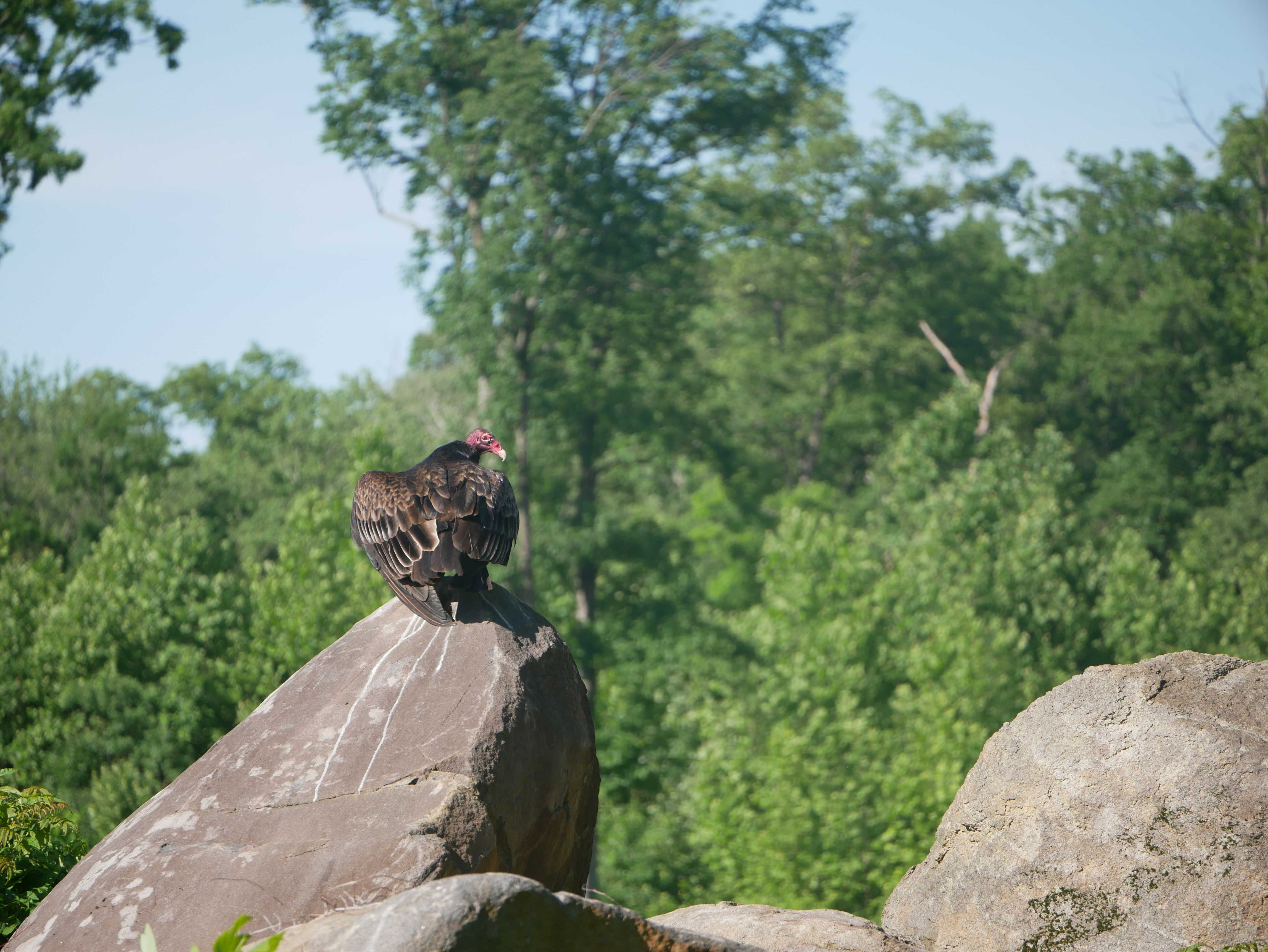 A majestic turkey vulture, perched on a rock.