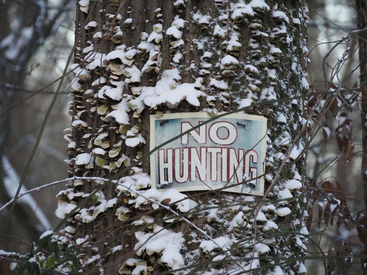 No hunting sign on mushroomed tree, now snowy.