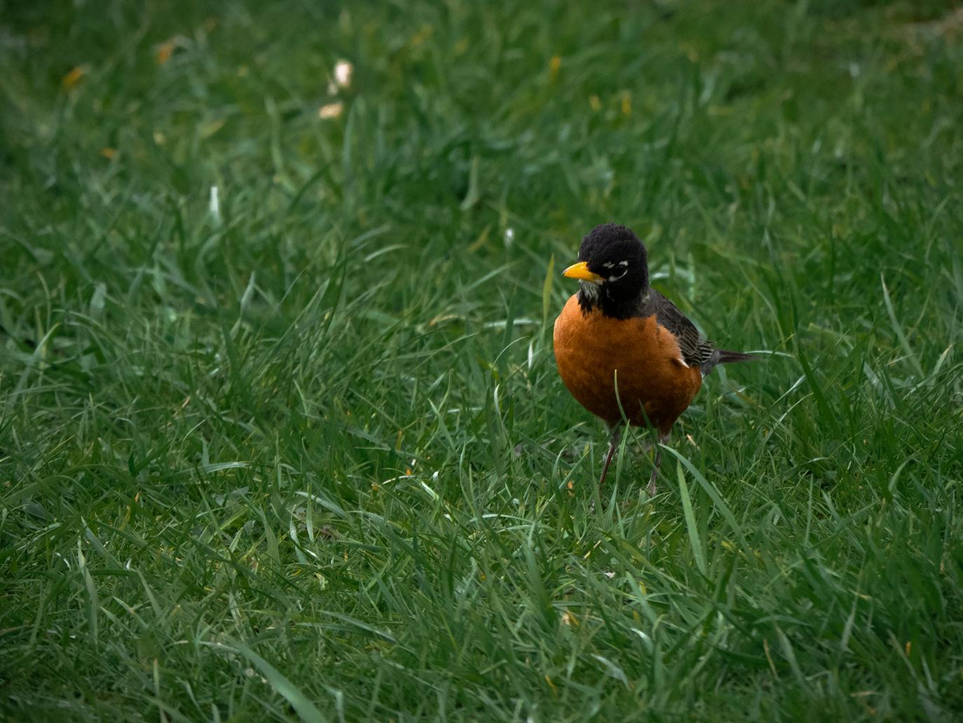 A robin, closeup.