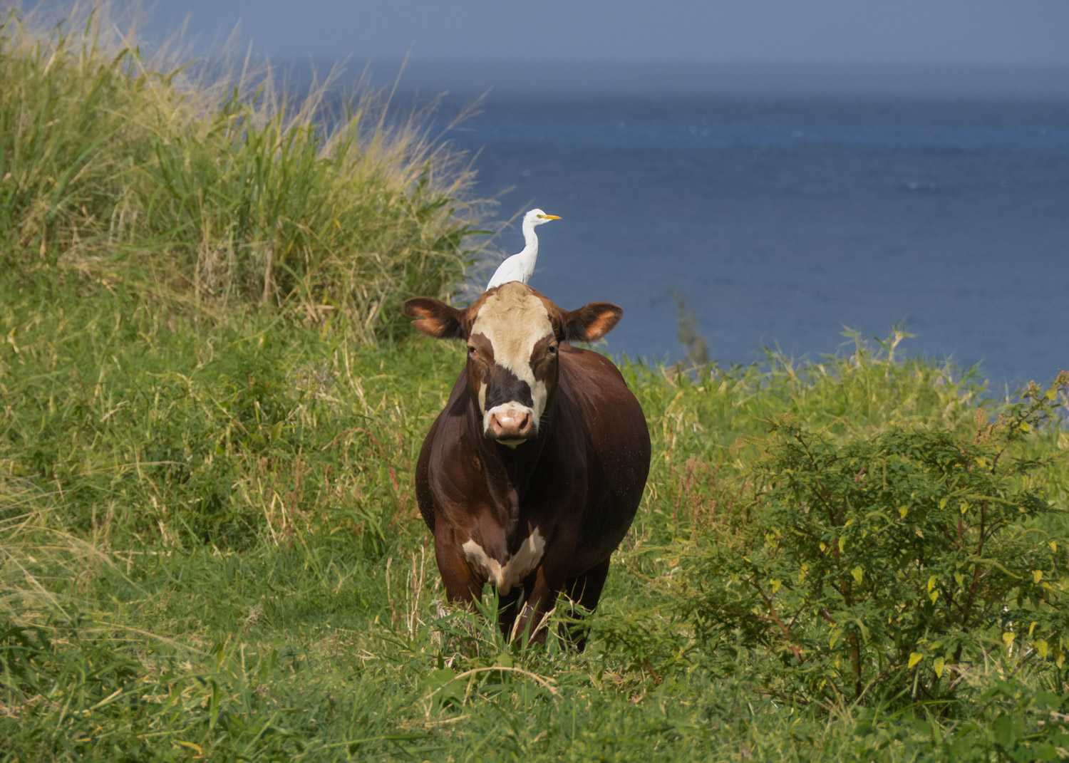 Cow and egret.