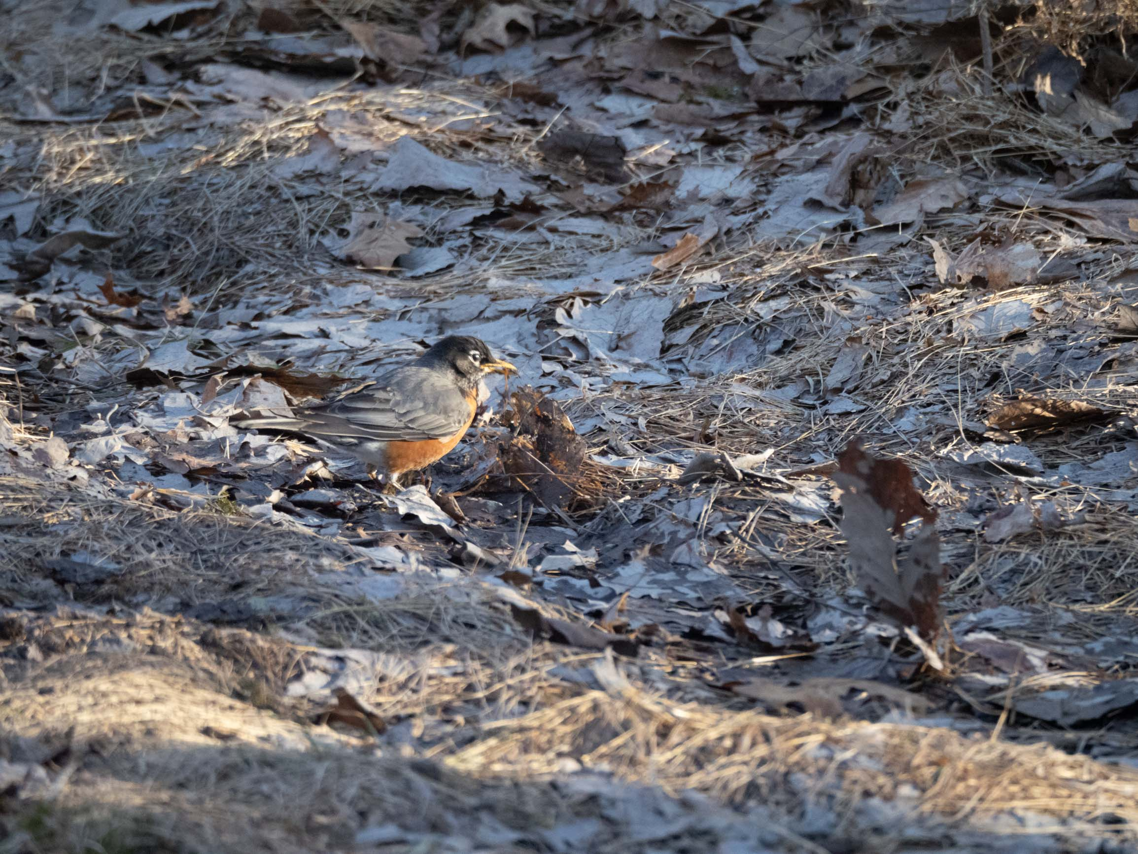 Robin digs for worms: a three photo sequence