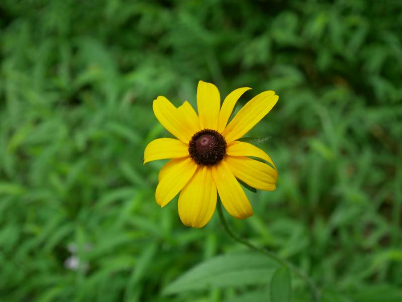 Black-eyed Susan -- one of the flowers currently in bloom.