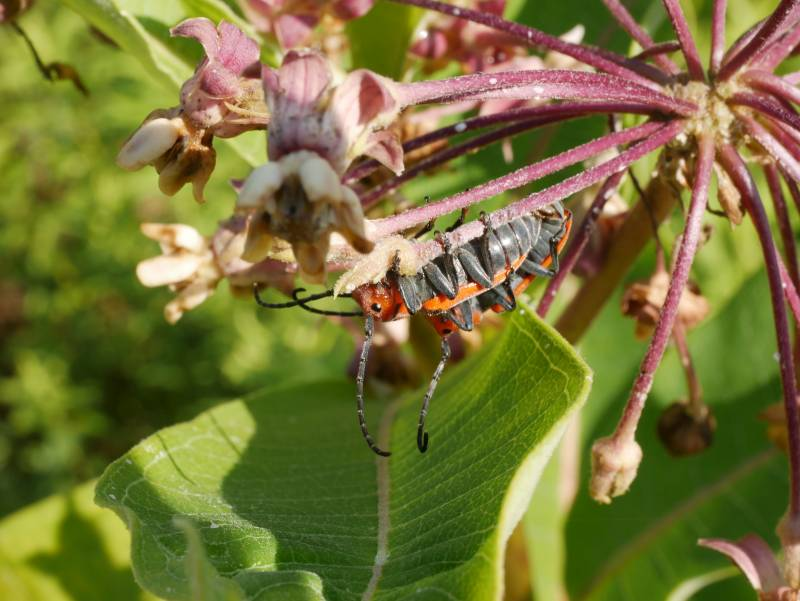 A insect of unknown species, clinging upside down to a milkweed plant. I haven't seen anything like it, before or since.