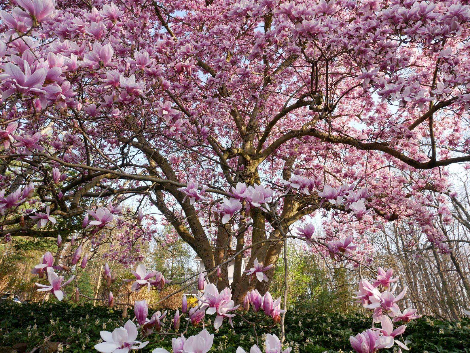 Finest magnolia gallery