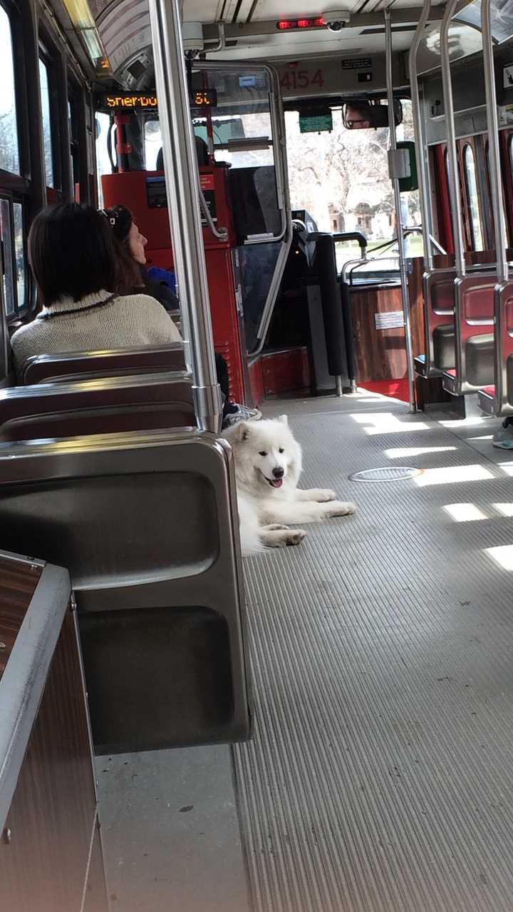 An adorable woof-woof on one of Toronto's many trams.
