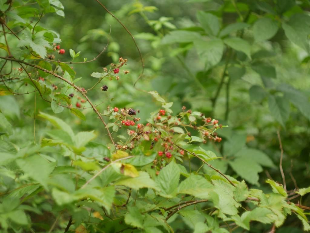 A wider shot of a blackberry bush.