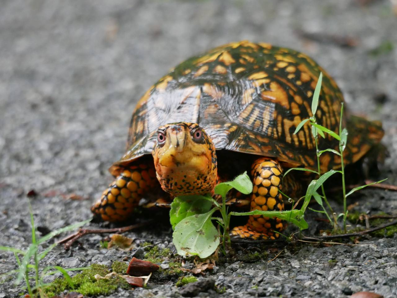 oranger, younger box turtle