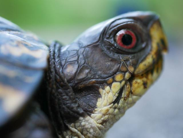 Very close on the turtle, with red eye.