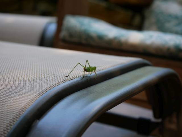 From farther away, the grasshopper on top of an outdoor footstool. This, then is what I was dealing with...