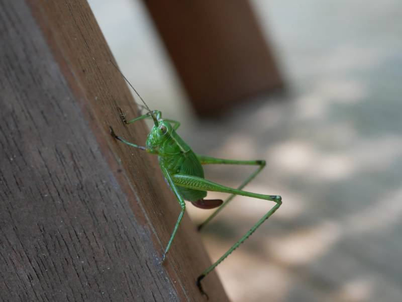 An incredibly awkward angle, but look at the /sheen/ in that /mean green/ color on the grasshopper!!