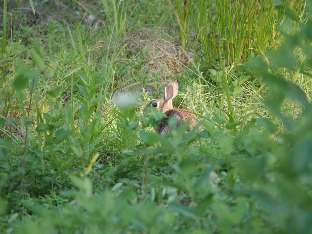 petrified baby rabbit.