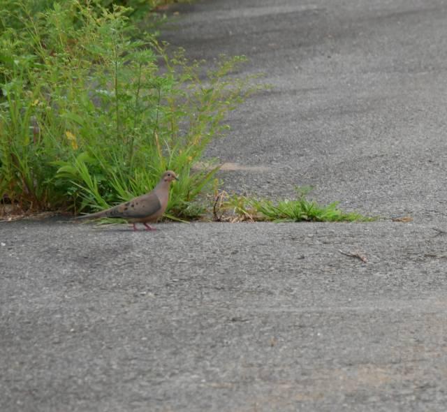Doves, a.k.a. Pidgeons...