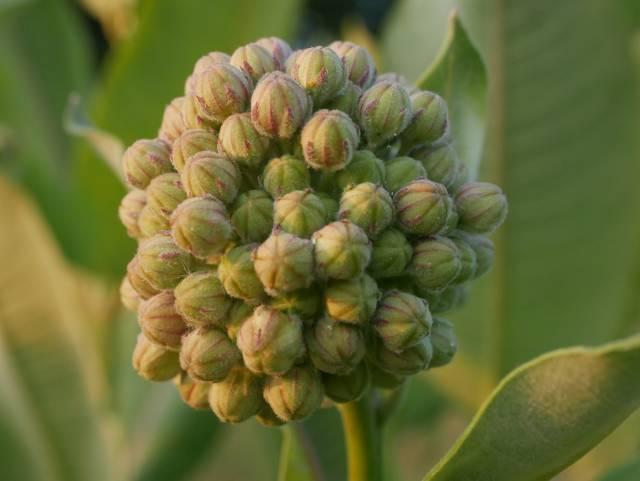pods on milkweed
