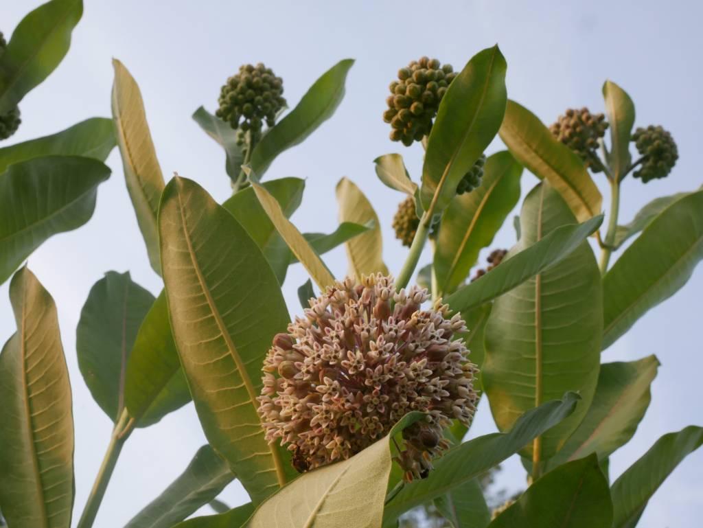 Blooming Milkweed